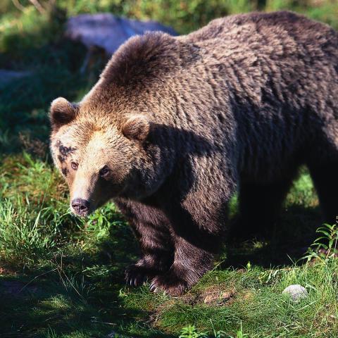 Svenskarna är mest rädda för björn