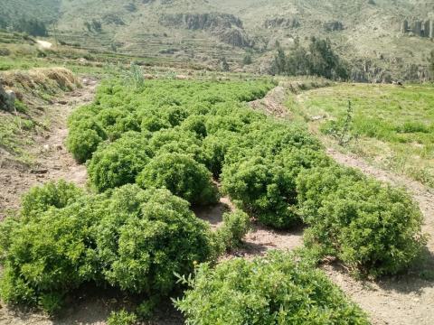 Organic oregano from the South of Peru
