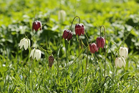 Rekordmild vinter ændrer foråret i haven