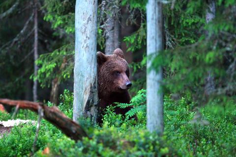 WWFs stöd till Innovativ Naturvård delas ut för att främja den biologiska mångfalden. Här en björn, foto: Leif Ragnarsson.