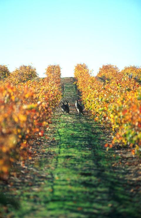 7-kamp om å bli vinmaker i Australia