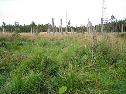 Barkborrar hjälper rötsvampar på traven