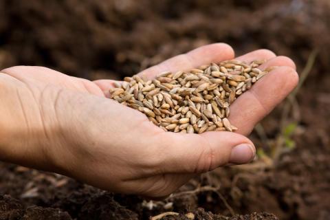 Ny svensk studie: Korn dämpar aptiten och håller blodsockret nere