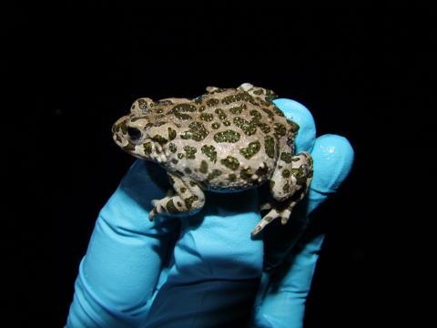 Art och miljö påverkar vilka groddjur som drabbas av parasitsvamp