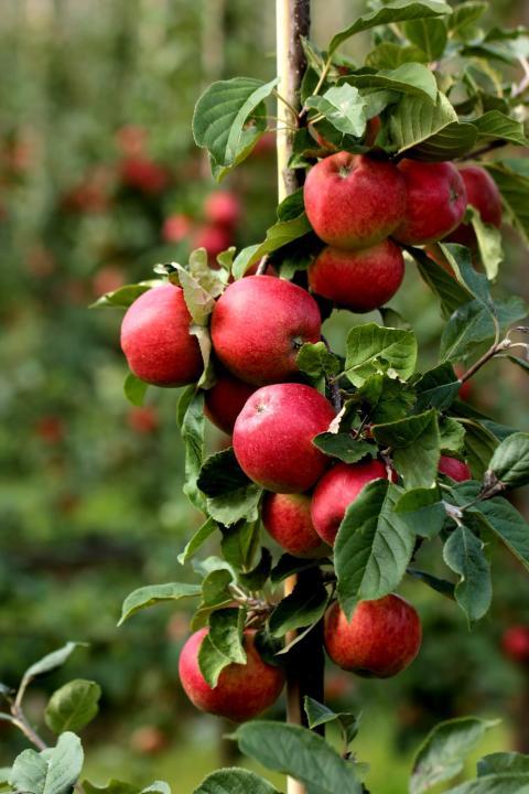Rekordstor efterfrågan på svenska äpplen i butik