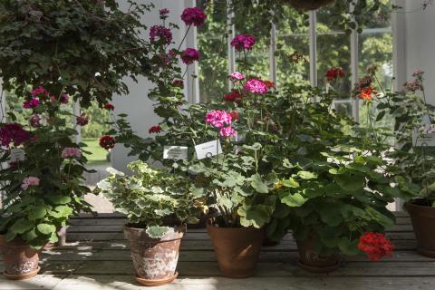 Så sköter du dina pelargoner – 5 tips från Julita gårds trädgårdsmästare