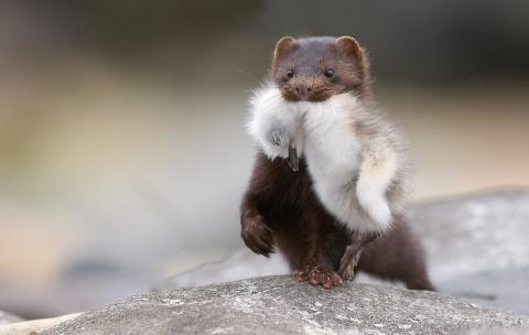 Nytt naturvårdsprojekt ska stoppa minken