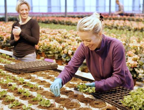Små plantor av Årets Pelargon planteras