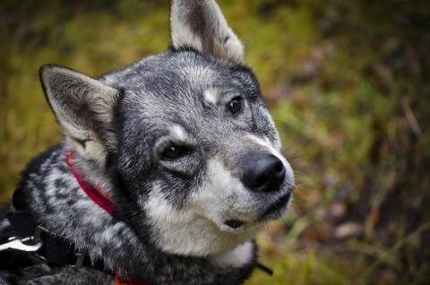 Antalet jakthundar minskar starkt i varglänen