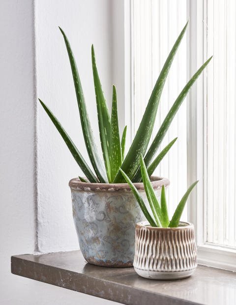 Aloe vera Plantagen