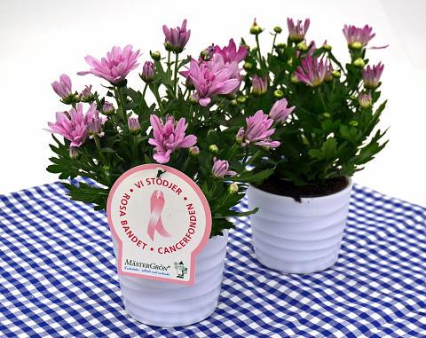 Dagens Rosa Produkt 12 oktober - en Krysantemum från Mäster Grön