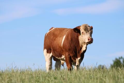 Träffa Tjuren Romeo på Studsbergs lantbruk på måndag