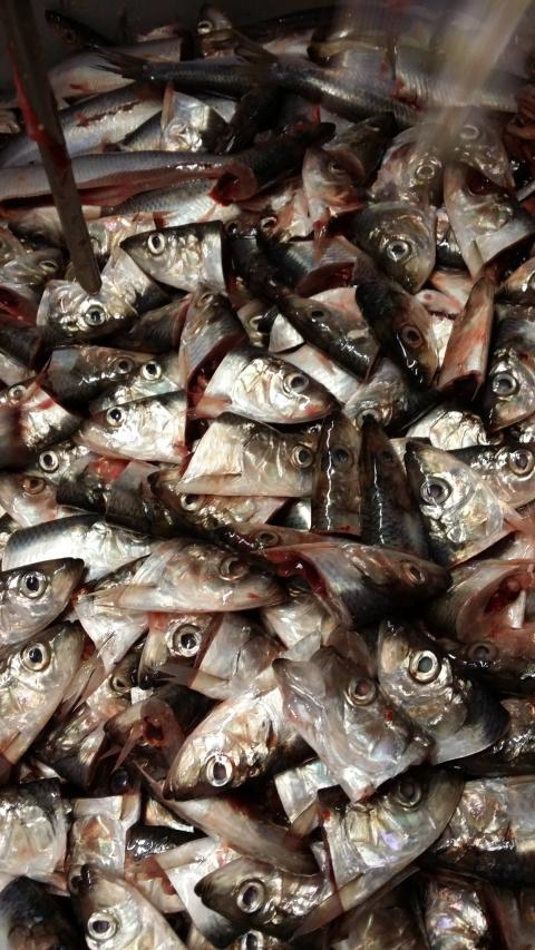 Svenskt hållbart fiskfoder från flera källor