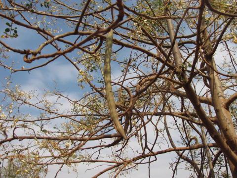 """Närbild på en frökapsel från """"mirakelträdet"""" Moringa oleifera"""