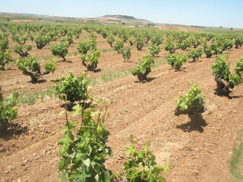 Domino de Pingus vingård
