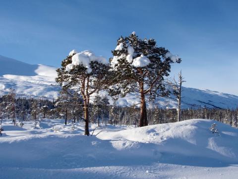 Endelig ble det snø i skogen. Stavassheiai Grane kommune. Foto: Lars Lorentzen