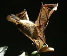 Fladdermöss och flygande förhistoriska ödlor