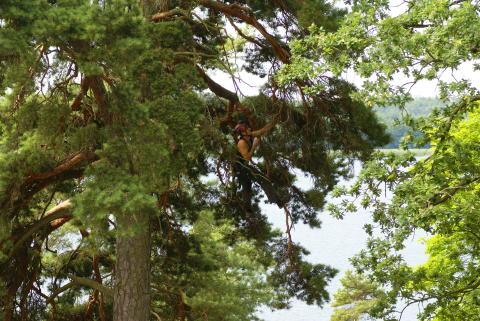 Världsmästare i trädklättring höjer värdet på fastigheter på Lidingö