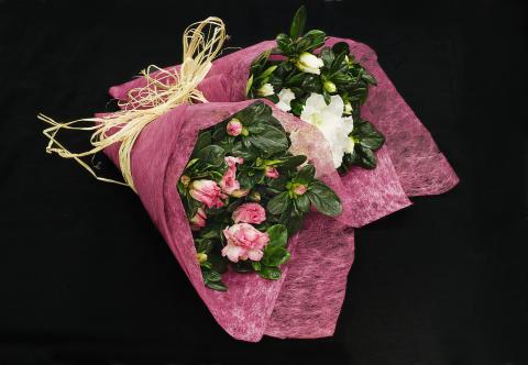 Azalea i rosa förpackning