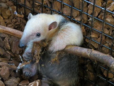 Ovanlig myrsloksunge född i Parken Zoo