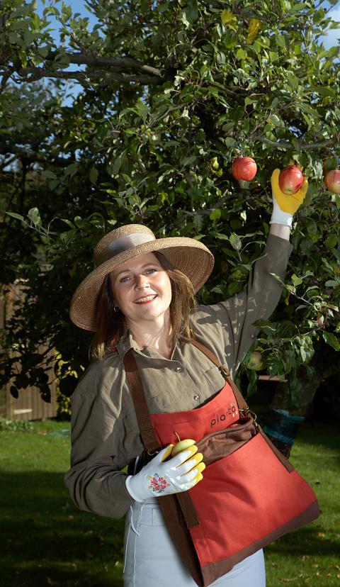 Plockar äpplen med fria händer i skördepåsen.