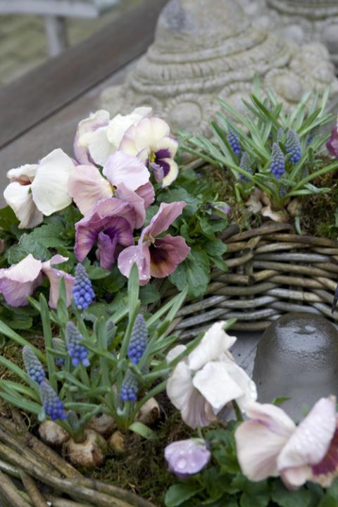 Penséer tinar en frusen trädgårdssjäl