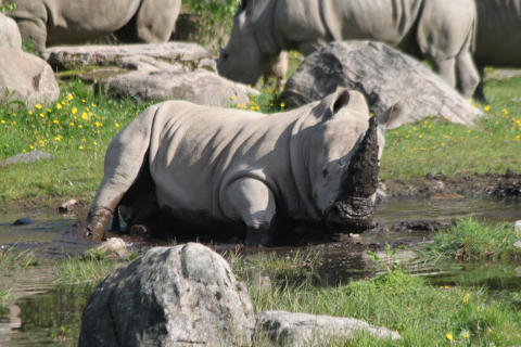 Noshörningar på grönbete i Borås Djurpark