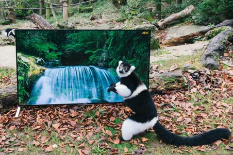 Maki's en Hoelmans bekijken levensechte 4K-beelden als onderdeel van hun herintroductie in het wild