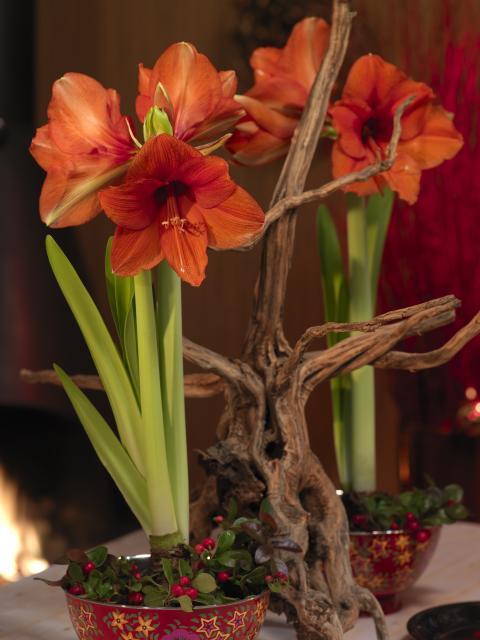 Amaryllis med trädgren