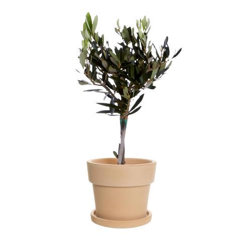Olivträd stam