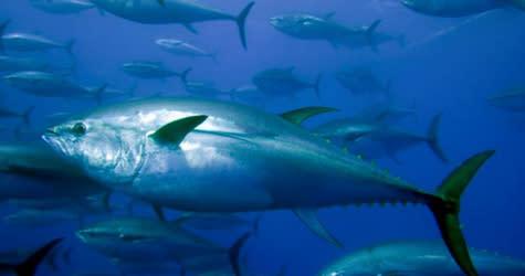 Med anledning av Expressens artikel om tonfisk i Thailand