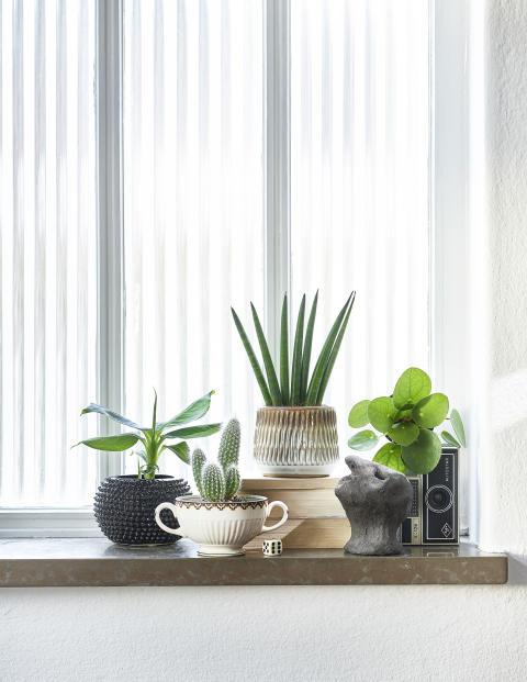 Miniväxter, Elefantöra, Kaktus, Bananplanta, svärmorstunga, Alocasia