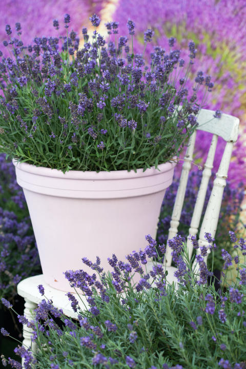 Lavendel, närbild