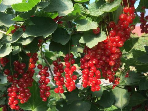 Rips-klaser; som perler på en snor. Smaken av sommer.