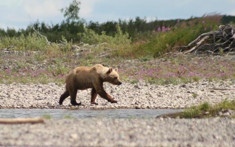 Björnars DNA bättre på 1800-talet