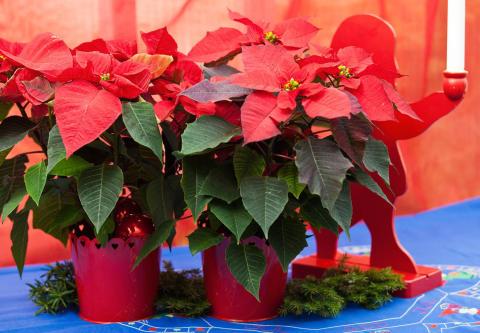Vi, alla härliga julblommor, ger dig en härlig jul!