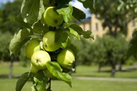 Äppelskörd på herrgården