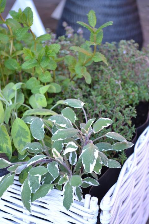 Salvia i kryddlandet