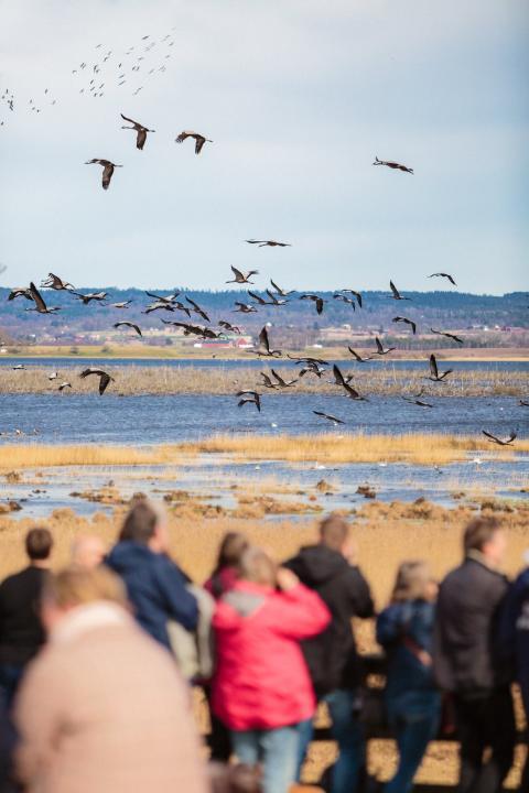 Tranfestivalen vid Hornborgasjön - ännu bättre i år!