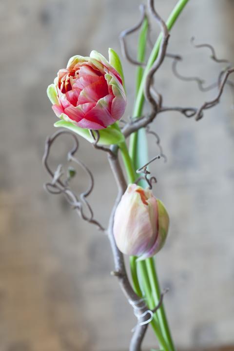 Tulpaner och trollhassel
