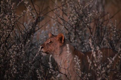 Lejon utanför Etosha Nationalpark i Namibia