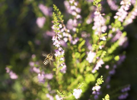 Ljung är årets sista dragväxt för bina
