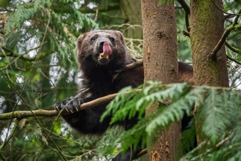 Vaikuttava kuvasarja Euroopan uhanalaisista eläimistä – mukana suomalaiskuvaajan komeat ahmakuvat