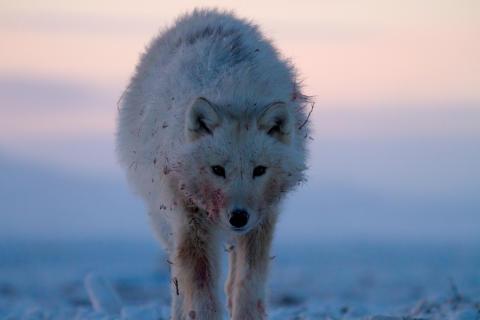 Polarulv på jagt
