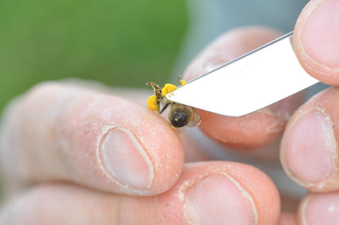 Pollen_sampling_from_honeybee
