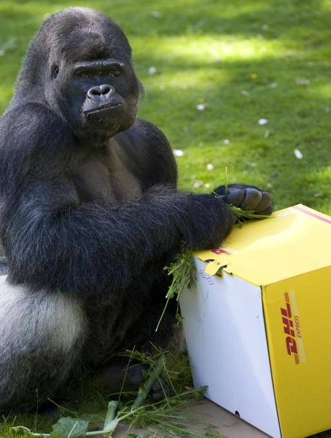 DHL Express levererar nio gorillor tillbaka till det vilda