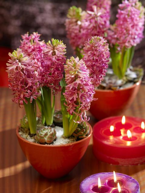 Rosa hyacinterer i röda skålar