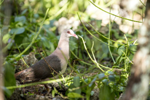 EXPERT COMMENT: We've saved pink pigeons from extinction – now let's be kinder to their grey cousins
