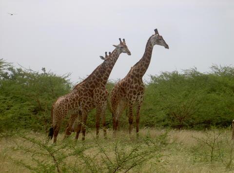 Giraffer i Kenya