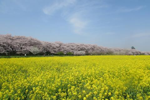 Satte Gongendo's bank of cherry trees(1)